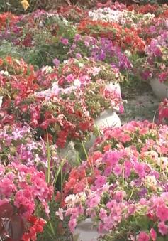 Người dân Đà Nẵng được mùa hoa Tết