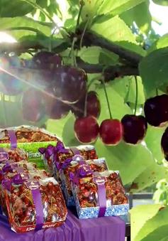 Khai mạc mùa Cherry New Zealand 2020 tại Việt Nam