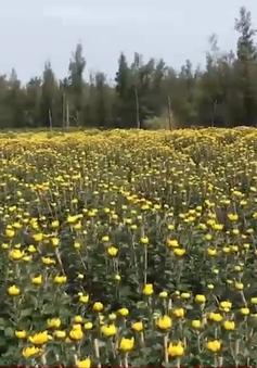 Hoa nở đúng Tết, nhà vườn phấn khởi
