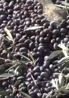 """Người trồng ô liu ở Tunisia lao đao trước cảnh """"được mùa, rớt giá"""""""