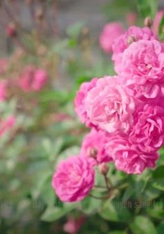 Rực rỡ sắc xuân ở làng hoa Mê Linh
