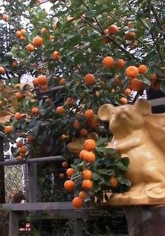 Quất bonsai hút khách dịp Tết Nguyên đán