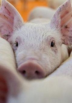 Giá lợn hơi đồng loạt giảm mạnh tại nhiều địa phương