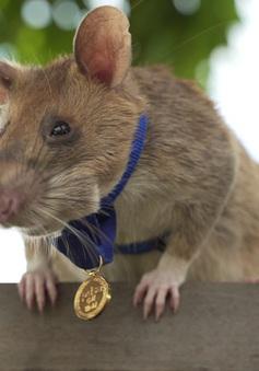 Chuyện thật như đùa, chú chuột được trao thưởng vì dẹp bom mìn