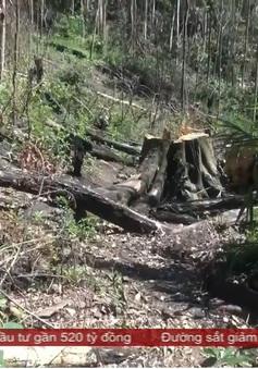 Hàng chục cây bạch tùng trăm năm tuổi bị cưa hạ trong rừng tự nhiên