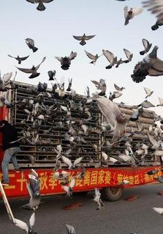 Ấn tượng, môn thể thao đua bồ câu đầy kịch tính tại Trung Quốc