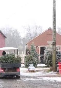 Người Mỹ đổ xô đi mua cây thông Noel sớm