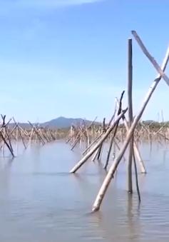 Vì sao nhiều diện tích rừng ngập mặn bị chết?