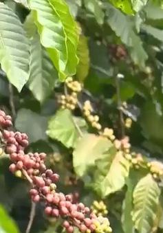 Cà phê tiếp đà tăng giá