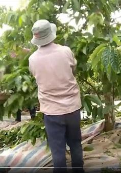 Trộm cắp lộng hành mùa thu hoạch cà phê