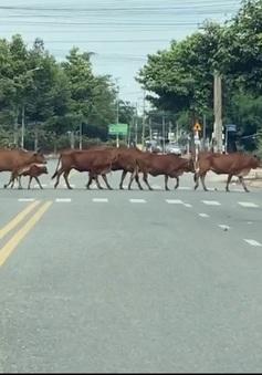 Gia súc thả rông gây mất mỹ quan, tiềm ẩn nguy cơ tai nạn ở thành phố du lịch