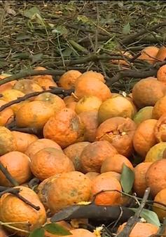 Nguyên nhân khiến hơn 8.000 ha cam Hà Giang rụng quả