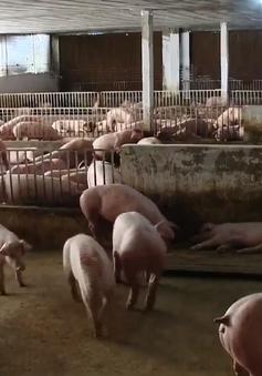 Giá lợn hơi doanh nghiệp chăn nuôi lớn về mức 75.000 đồng/kg