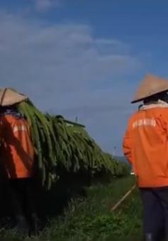 Nông dân ngừng cho thanh long ra trái