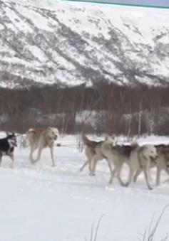 Cuộc thi chó kéo xe trượt tuyết ở Kamchatka, Nga
