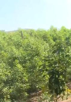 Thừa Thiên - Huế trồng 1000 cây bản địa trên lòng hồ thuỷ điện
