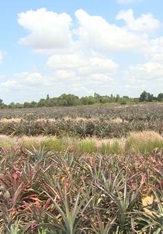 Nắng nóng, dịch bệnh đe doạ vùng trồng đặc sản khóm Cầu Đúc