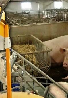 Nuôi lợn bằng công nghệ tự động tại Đan Mạch