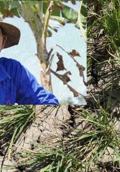 """[Ảnh] Nông dân ĐBSCL xót xa nhìn lúa """"nguy kịch"""" vì hạn mặn mà không thể cứu"""