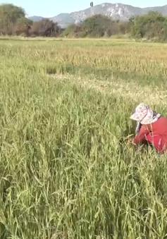 Khô hạn diễn ra sớm trên diện rộng tại Ninh Thuận