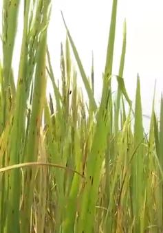 Quảng Nam: Nông dân lo mất vụ lúa do bệnh đốm nâu