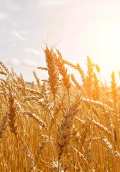 Giá lúa mỳ giảm mạnh