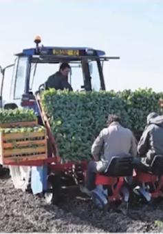 COVID-19 đang tác động xấu đến sản xuất nông nghiệp châu Âu
