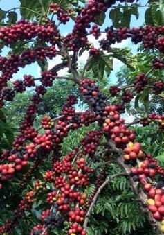Dịch COVID-19 gây xáo trộn thị trường cà phê