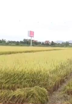 Đà Nẵng: Nông dân được mùa lúa vụ đông xuân