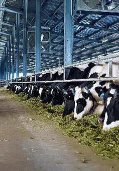 Ghé thăm trang trại bò sữa hữu cơ đạt chuẩn châu Âu đầu tiên ở Việt Nam