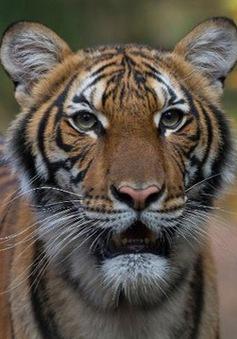 Con hổ đầu tiên trên thế giới bị nhiễm virus corona chủng mới