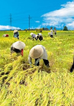 Giá gạo của các nước châu Á ở mức cao