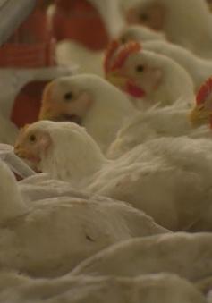 Giá gà tại Đông Nam Bộ xuống thấp kỷ lục