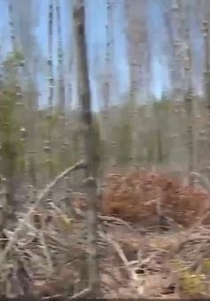 Sóc Trăng: Nhiều diện tích rừng phòng hộ bị chết