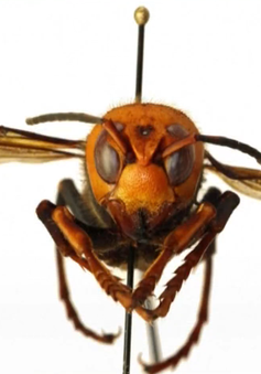 """Ong bắp cày """"sát thủ"""" xuất hiện bất thường tại Mỹ"""