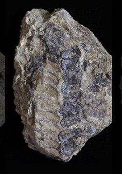 """Phát hiện hóa thạch 400 triệu năm có thể thay đổi """"lịch sử tiến hóa"""""""