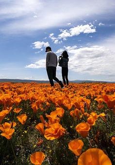 Hàng triệu bông hoa anh túc nở rộ bất chấp hạn hán lịch sử tại California (Mỹ)