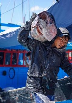 Ngư dân Tam Quan vui mùa cá ngừ đại dương