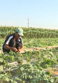 Quảng Nam: Vùng chuyên canh rau bằng nguồn nước giếng