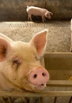 Chủng virus cúm lợn mới ở Trung Quốc đang lây lan sang người