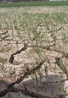 Gần 55.000 ha cây trồng ở Trung Bộ bị thiếu nước