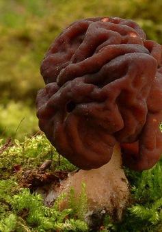 Người Phần Lan nghiện món nấm chứa độc tố gây ung thư