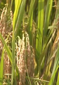 Thừa Thiên - Huế: Lúa Hè Thu giảm sản lượng nhưng được giá