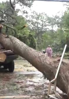 Đà Lạt: Nhiều cây lớn ngã đổ do ảnh hưởng của mưa bão