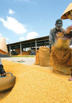 """Hạt gạo Việt và câu chuyện """"chiếu dưới"""" sau 30 năm xuất khẩu"""