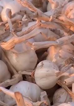 Quảng Ngãi: Tồn đọng 700 tấn tỏi Lý Sơn