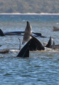 Ngoạn mục, pha giải cứu hàng trăm cá voi mắc cạn ở Australia