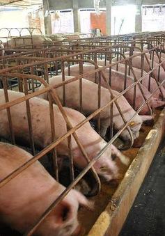 Chăn nuôi tăng trưởng cao nhờ kiểm soát tốt dịch bệnh