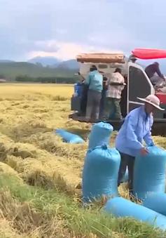 Nam Trung bộ được mùa vụ lúa Hè Thu
