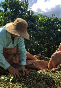 Cà phê Việt Nam đặt mục tiêu xuất khẩu 6 tỷ USD